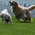 前足が不自由な犬、義足で飛び跳ねるように走る