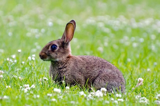 ウサギの耳